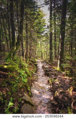 Sunny Trail Through Pine Forest In Smokies
