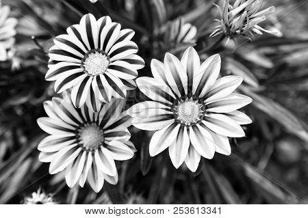 Gerbera Blossom On Blurred Natural Background. Gerbera Flowers In Summer Garden. Blossoming Flowers