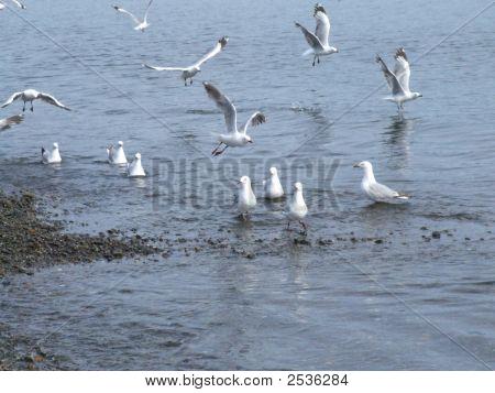 Seagulls On The Petone Foreshore