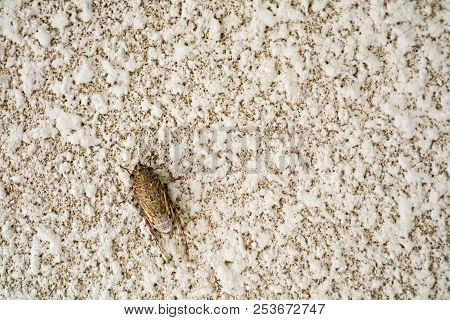 Cicada Is Disguise On Texture Surface Of Sandstone Wall