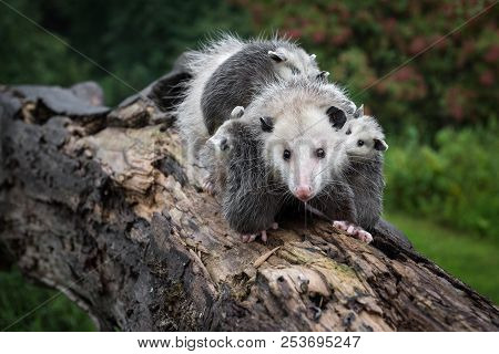 Drooling Opossum (didelphimorphia) Carries Her Joeys Across Log - Captive Animals