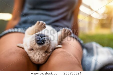 Young Small Cute Yellow Labrador Retriever Dog Puppy Pet Sleeping Outdoors On Female Legs