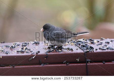 Dark-eyed Junco Eating Birdseed On A Backyard Deck Porch