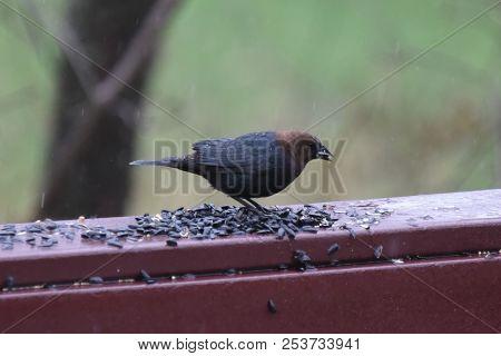 Male Cowbird Eating Birdseed On A Backyard Deck Porch