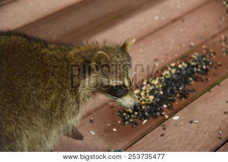 Raccoon Procyon Lotor Eating Birdseed Sunflower Seed On Back Porch Deck Wild Animal Brown Fur