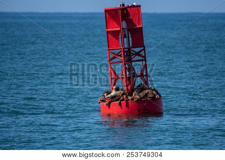 Offshore Buoy Crowded With California Sea Lions Looking To Dry And Catch Sun Rays.