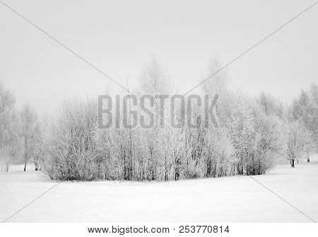 Winter Nature, Snow And White Trees  In Forest
