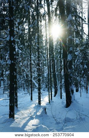 Winter Nature, Sun, Snow And Snowy Trees  In Forest