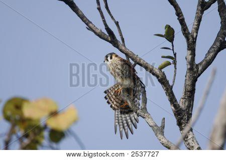 American Kestrel Streching Her Wings
