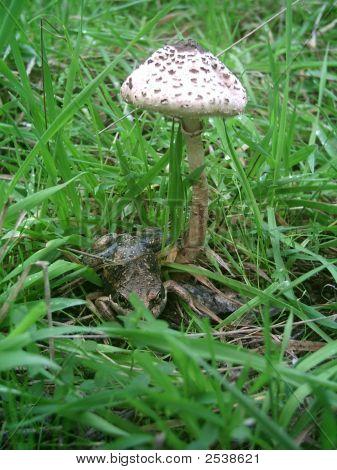 Macrolepiota Pobblebonk Banjo Frog