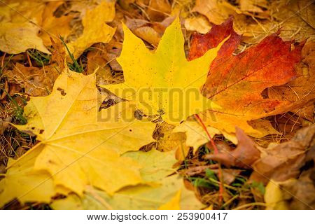 Fall Leaves Background.background Of Colored Wet Autumnal Maple Leaves In A Park.autumn Orange Leave