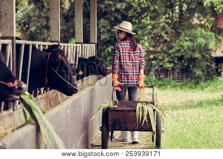 Young Woman Working On A Cow Farm.
