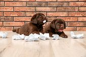 Mischievous chocolate Labrador Retriever puppies and torn paper near wall indoors poster