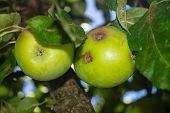 Fungal infection of apple trees called Venturia inaequalis poster