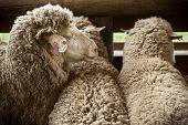 A group of sheep calmly await shearing poster