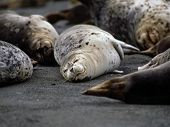 harbor seals on beach poster