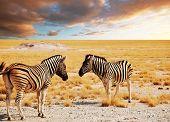 african safari- zebras at sunset poster