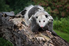 Drooling Opossum (didelphimorphia) Carries Her Joeys Across Log - Captive Animals