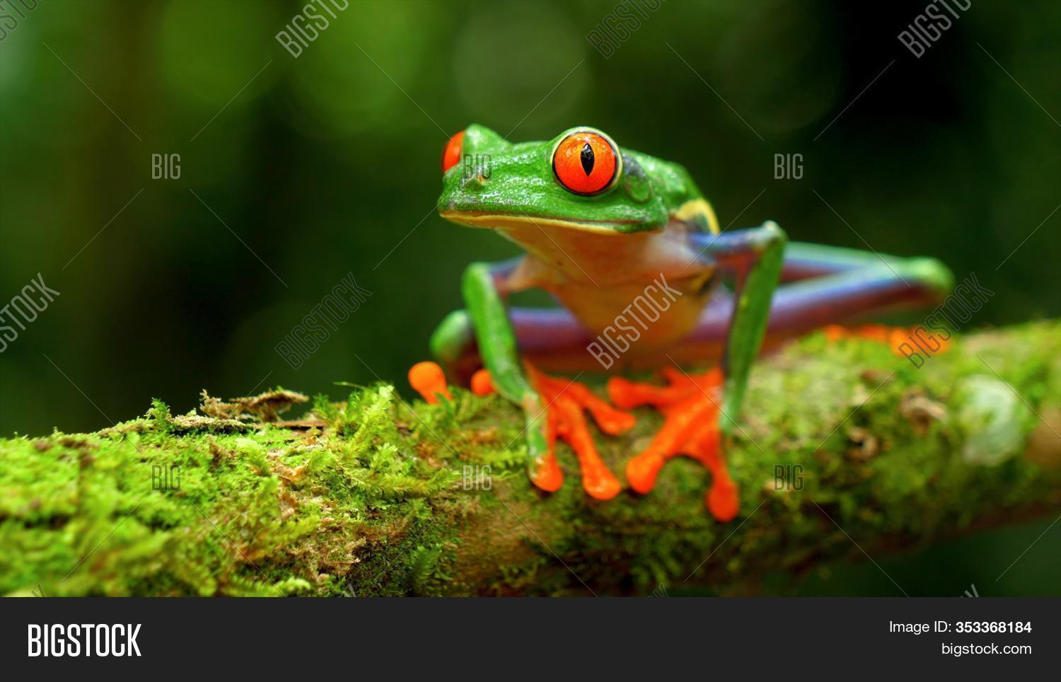 Red Eyed Tree Frog Image Photo Free Trial Bigstock