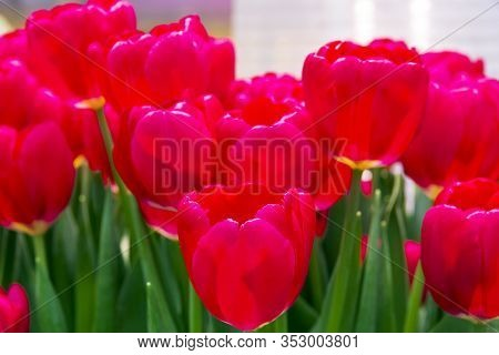 Tulipa Of The Red Power  Species In A Greenhouse.