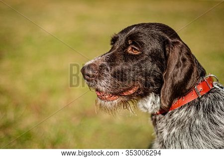 Close Up Sideview Portrait Of Young German Wirehaired Pointer With Red Collar On. Detail Of The Head