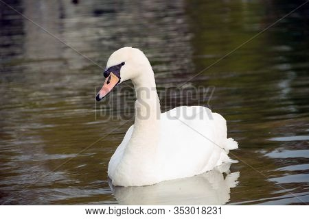 A Swan Is Resting On The Water. White Swan On The River. An Elegant White Swan Floats On The Lake. S