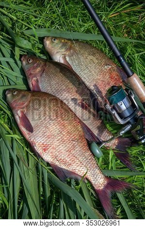Three Big Freshwater Common Bream Fish And Fishing Rod With Reel On Green Reed..