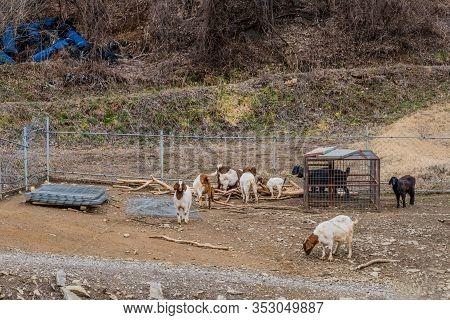 Herd Of Goats Grassing In Farmyard