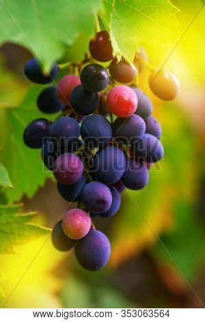 Ripe Grapes In Fall. Bunch Of Grapes Hang From A Vine, Close Up Of Red And Blue Wine Grapes. Fruits