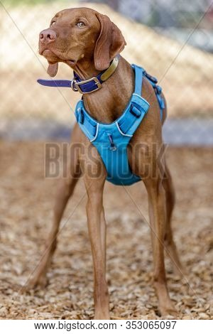 1 Year Old Vizsla Puppy Male. Off-leash Dog Park In Northern California.