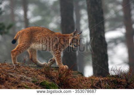 The Eurasian Lynx (lynx Lynx), Also Known As The European Or Siberian Lynx In Autumn Colors In The P