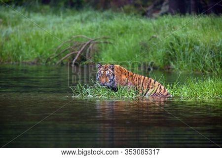 The Siberian Tiger (panthera Tigris Tigris),also Called Amur Tiger (panthera Tigris Altaica) Laying