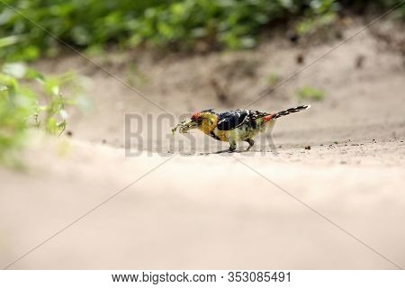 The Crested Barbet (trachyphonus Vaillantii) Sitting On The Ground With Prey In The Beak. Barbet Wit
