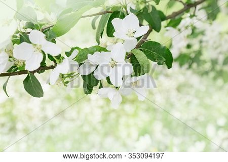 Beautiful Apple Blossom. Spring Time In Nature, Flowery Blurred Background With Copy Space. Flowerin