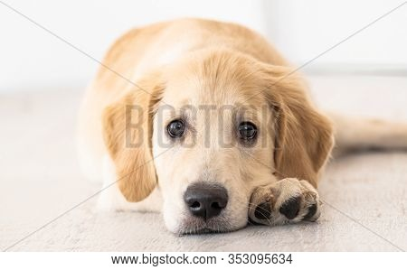 Nice muzzle and smart eyes of golden retriever