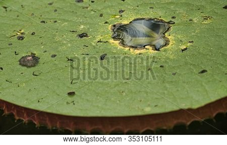 Close-up Large Green Leaves Of Victoria Waterlily Victoria Regia, Victoria Amazonica On The Waters S