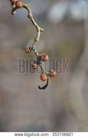 Japanese Larch Diana - Latin Name - Larix Kaempferi Diana