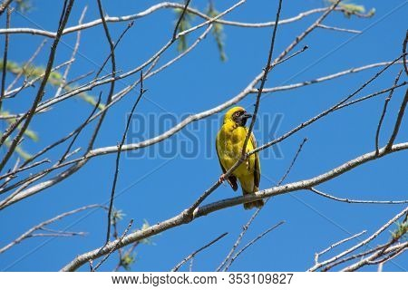 Southern Masked Weaver Yellow Bird Sitting In Tree, South Africa.