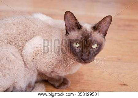 Beautiful Siamese Cat Staring At The Camera