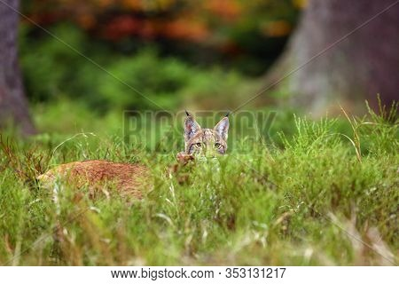 The Eurasian Lynx (lynx Lynx) A Young Lynx Hides In The Grass And Peeks Over Her, Autumn Forest Back