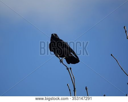 Carrion Crow (corvus Corone) Perched On Tree Branch