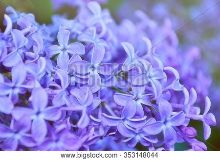 Spring background. Blooming spring lilac flowers in the spring garden. Selective focus at the central spring flowers, pastel and soft focus applied. Spring flower background, spring lilac flowers in spring blossom