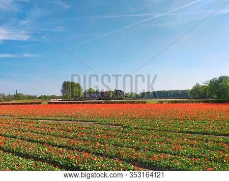 Colorful Tulips Fields In Holland, Spring Season.
