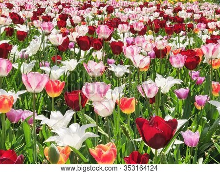 Colorful Mix Of Yellow, Pink, White  And Red Tulips Flower Bed,  Spring Park Garden.