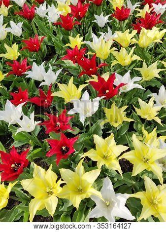 Colorful Mix Of Yellow, White And Red Tulips Flower Bed,  Spring Park Garden.