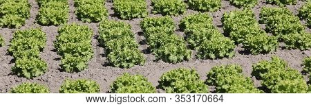 Many Tufts Of Green Lettuce In A Field In Summer