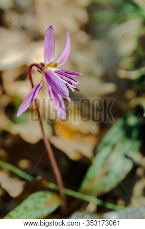Purple Flower, Erythronium Dens-canis, The Dog's-tooth-violet Or Dogtooth Violet, Lily Family, Lilia
