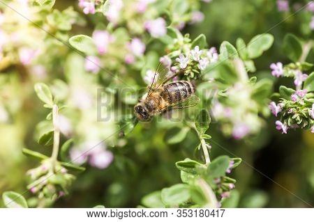 Thymus Serpyllum, Tikman Breckland, Breckland Wild Thyme, Wild Thyme, Creeping Thyme, Elfish Thyme P