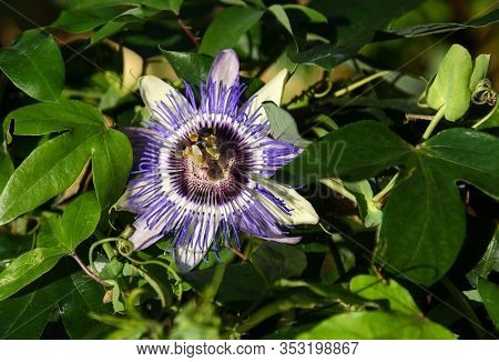 Close Up Of The Passion Fruit Flower In Summer ( Passiflora Edulis )