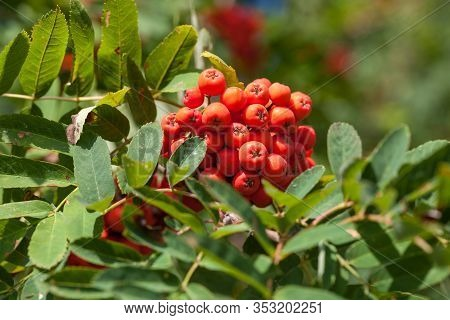 Ashberry Sorbus Aucuparia With Leafs On Sunlight